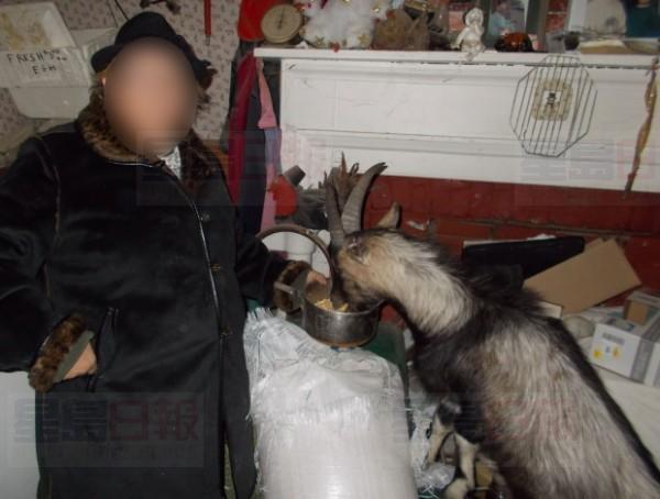 goat-kingston
